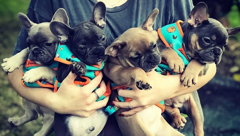 The Most Essential Steps for the French Bulldog Grooming: Things That are Most Important