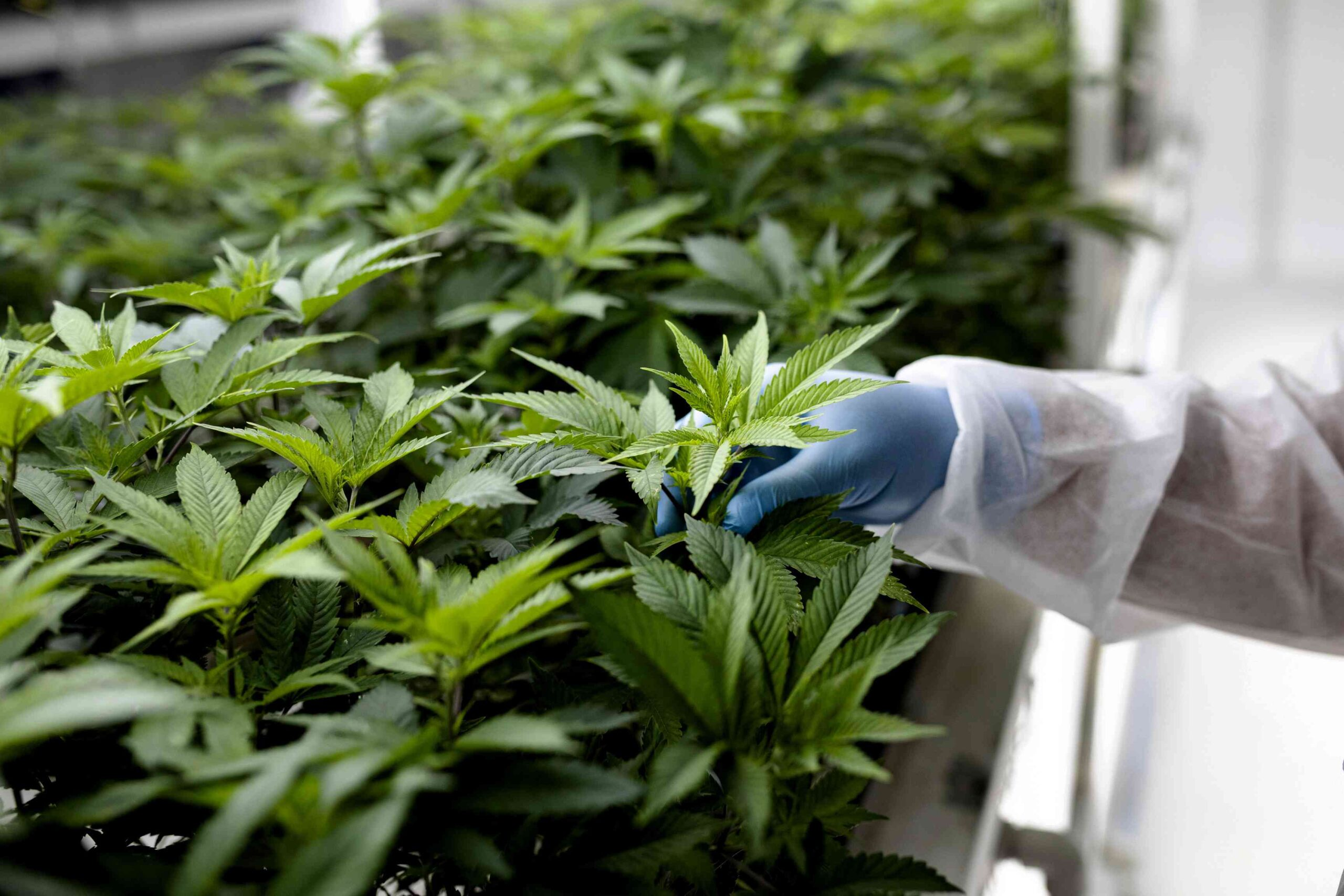 What Are the Leading Growth Factors for the Cannabis Industry