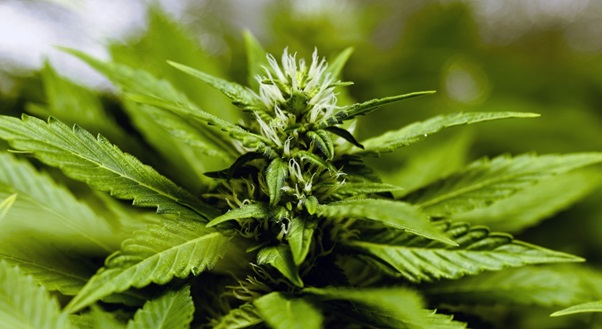 The Hydroponic Guide: Growing Your Own Weed